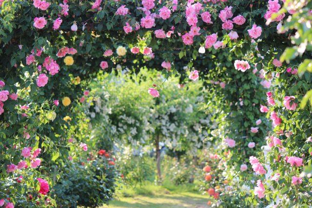 バラが咲き誇る花園