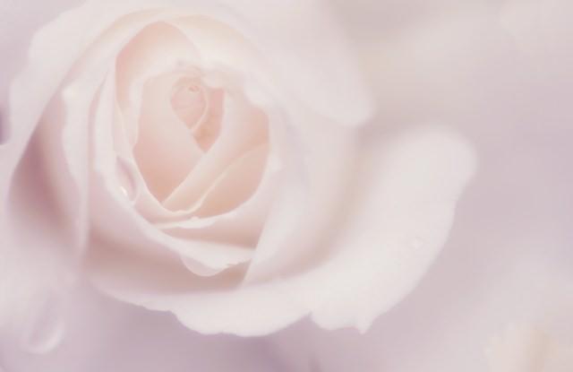 高貴なバラの香り