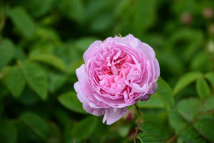 センティフォリアのバラ