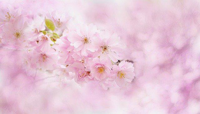 桜,プレゼント