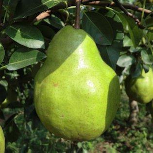 山形の洋梨,シルバーベル